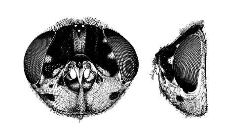 Illustration av Elizabeth Binkiewicz, publicerad i Phylogeny of Oestridae (Insecta: Diptera) av Thomas Pape (2001). Den föreställer huvudet av en nordamerikansk gnagarstyngfluga med det vetenskapliga namnet Cuterebra fontinella.